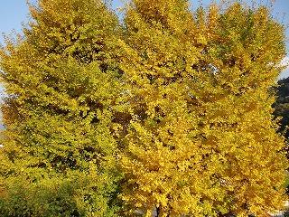 11月30日 イチョウの木