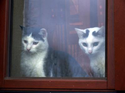 猫 並ぶ 窓際 ガラス 反射