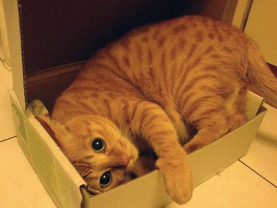 猫 寝そべる 動物 ペット 箱 段ボール