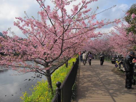 20110306001河津桜