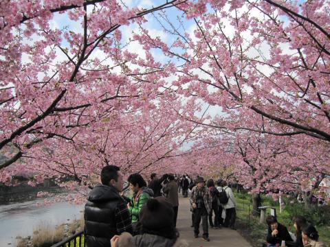 20110306003河津桜