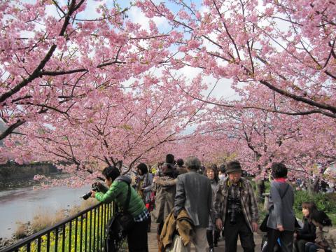20110306004河津桜