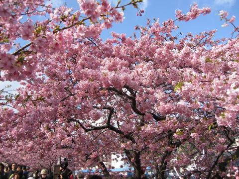 20110306005河津桜