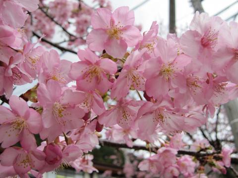 20110306007河津桜