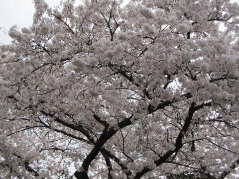 20110410002桜