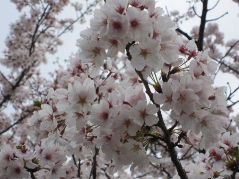 20110410003桜