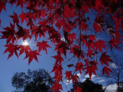 紅葉の向こうの太陽