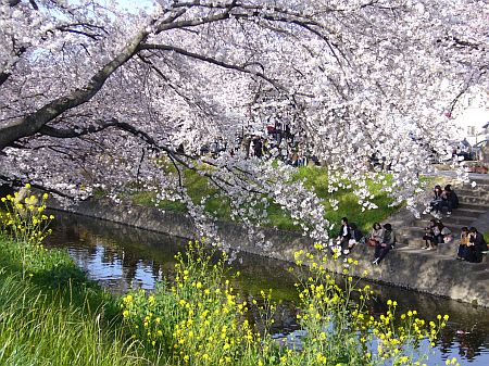 桜と菜の花の共演