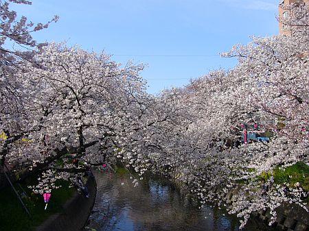 川に向かって咲く桜