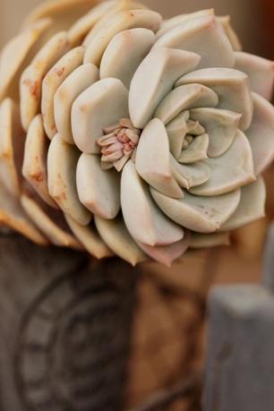白牡丹には花芽?