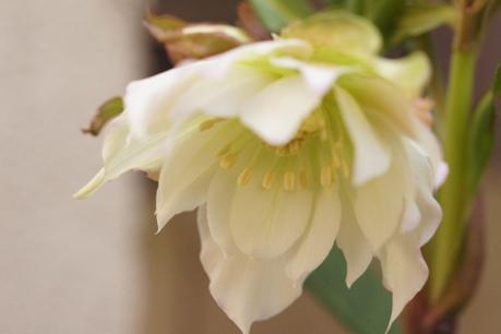 うつむいて咲く姿が素敵っ☆*。