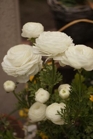 ラナンキュラス、こんなに咲いてます♪