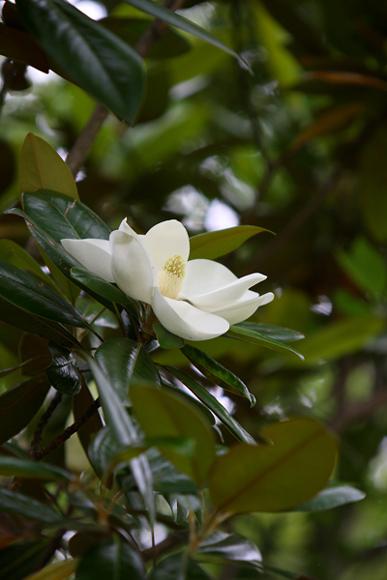 タイサンボク