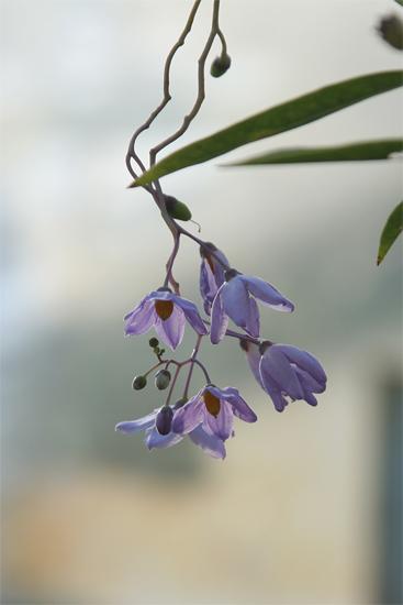 ルリヤナギ