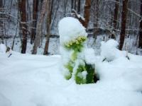 ふきのとうに雪がかぶる