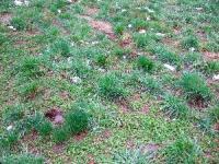 牧草地に混ざるノビル