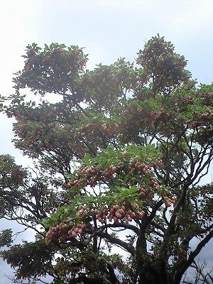 森のたね サラサドウダン開花 巨木