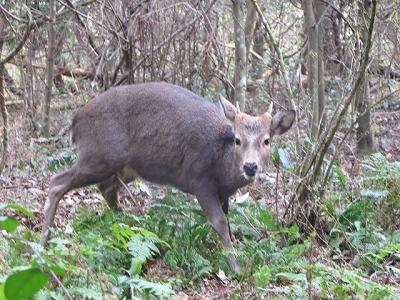 森のたね 富士山田舎暮らし 鹿
