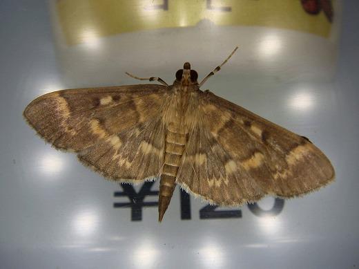キモンウスグロノメイガ