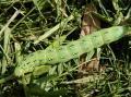 アヤモクメキリガ(幼虫)