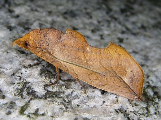 アカエグリバ