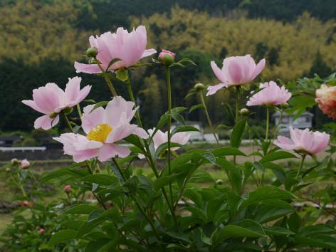 0505shakuyakus1.jpg