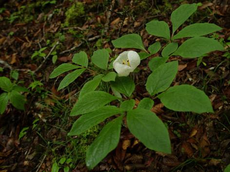 0605yamashakuyakus2.jpg
