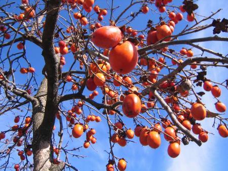 4345秋空に柿