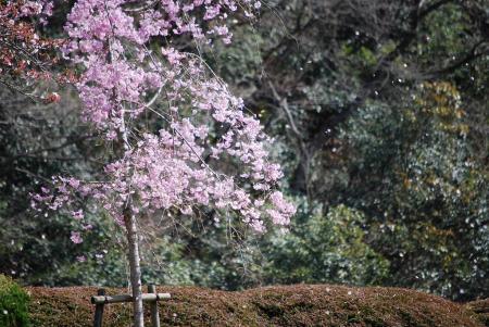 0987桜吹雪