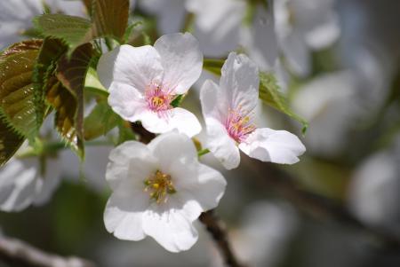 0992桜いろいろ
