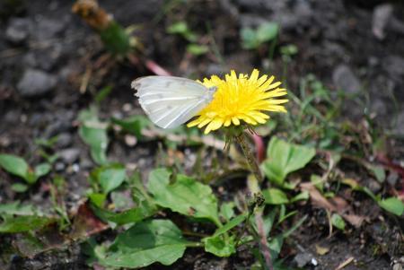 1343白き蝶