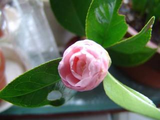 tnH22-02-14椿の花 (2)