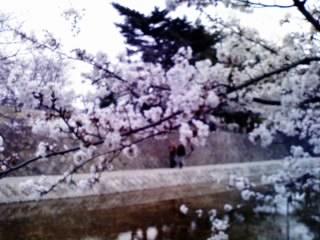 夙川の桜5