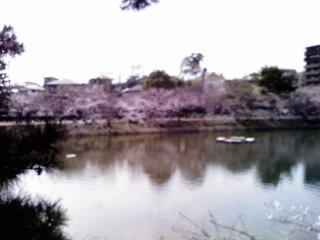 夙川の桜7