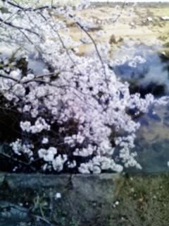 夙川の桜8