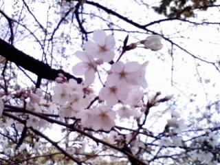 夙川の桜9