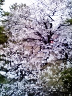 夙川の桜10