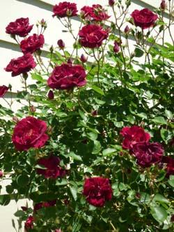 rose_0906_250