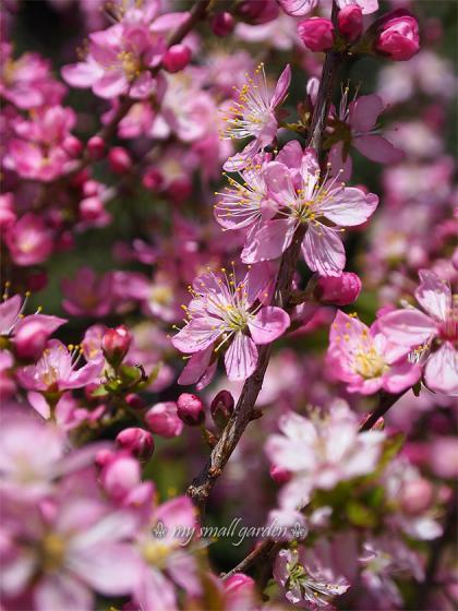 blog1000flowers 庭梅