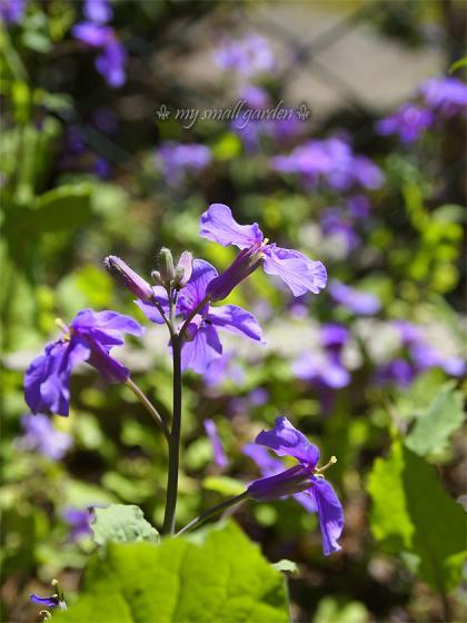 紫花菜 blog1000flowers