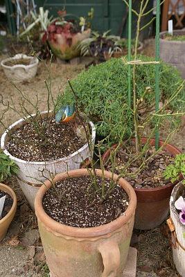 0128-13ミニバラ鉢増と葉落剪定