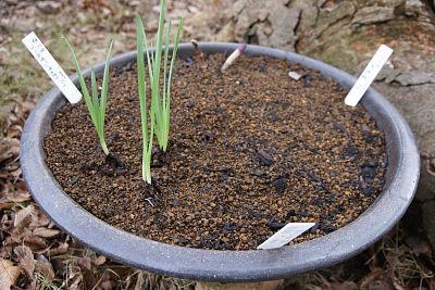 0128-11ホスタ三種とミニ水仙寄植