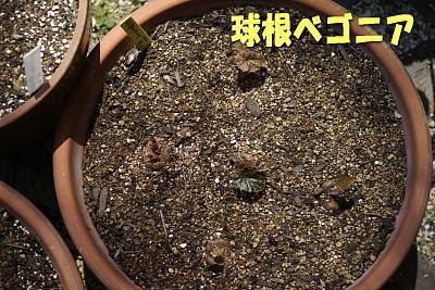 0427-14球根ベゴニア鉢植