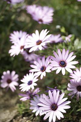 0427-10花デモルフォセカ