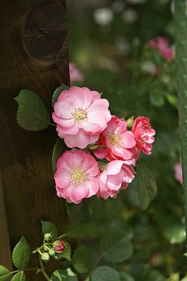 0521-17鉢バラ
