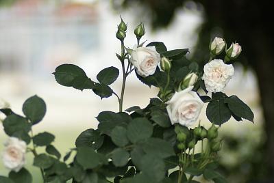 0523-6木立性バラ