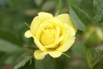 0624-8ミニバラ黄