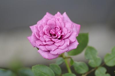 0705-7ミニツルバラ二番花