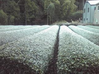 茶畑霜081216_0821~01