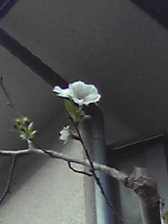 季節外れの桜091022_0815~01